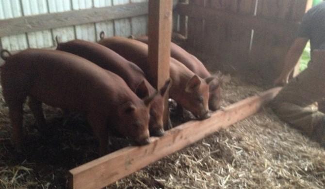 Spring 2016 – 4 Duroc Pigs